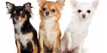 032 360x180 - Уход и содержание породы собак чихуахуа