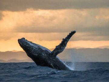 546е 360x270 - Зачем киты выпрыгивают из воды? Ученые нашли ответ