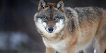 58a5fd80cd57c hhh7 1200 360x180 - 8 удивительных фактов о волках