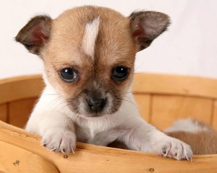 i 4 - Уход и содержание породы собак чихуахуа