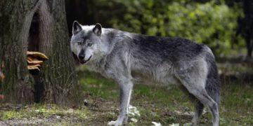 volki5 1200x750 360x180 - 8 удивительных фактов о волках