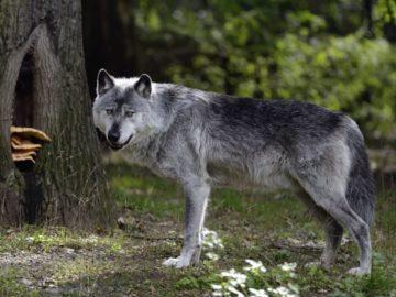 volki5 1200x750 360x270 - 8 удивительных фактов о волках