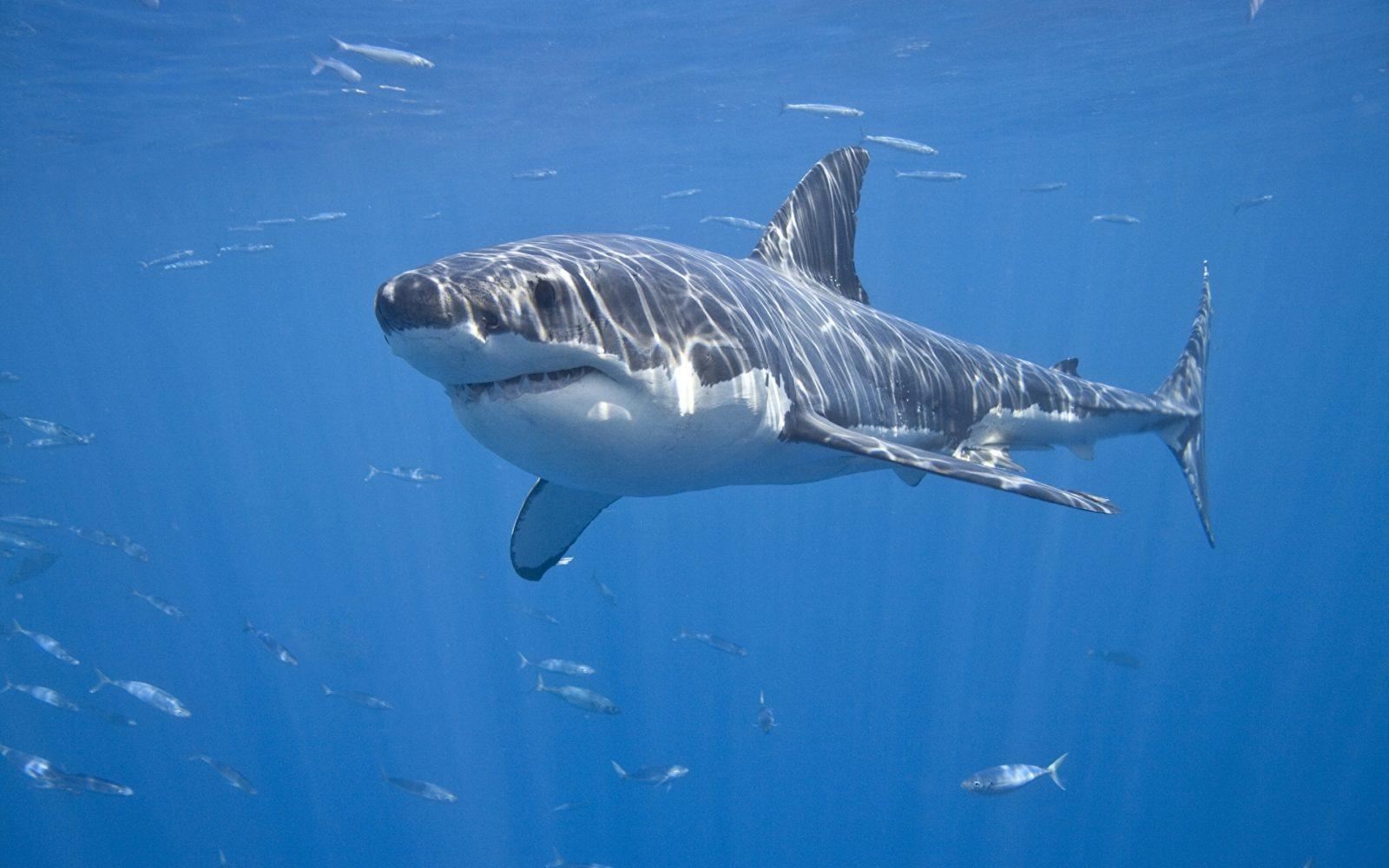 Sharks Underwater world 465073 1920x1200 - Интересные факты об акулах