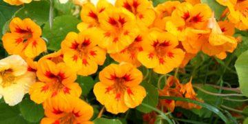 цветок 360x180 - 17 интересных фактов о настурции