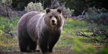 283408 Sepik 360x180 - 19 интересных фактов о медведях