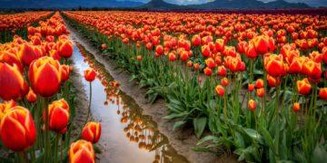 312724 blackangel 360x180 - 15 интересных фактов о тюльпанах