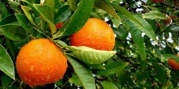 3377699738079073 de24 360x180 - 18 интересных фактов об апельсинах