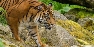 397686 sepik 360x180 - 27 интересных фактов о тиграх