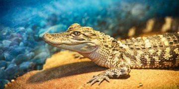 CF97S4 360x180 - 30 интересных фактов о крокодилах