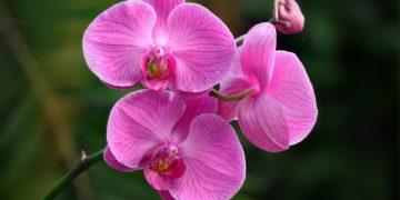 Orchid Closeup Violet 492290 360x180 - 21 интересный факт об орхидеях