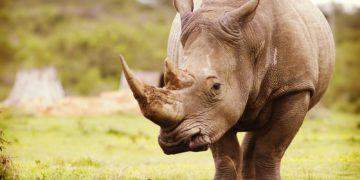 Rhinoceroses Closeup 538227 2560x1440 360x180 - 30 интересных фактов о носорогах