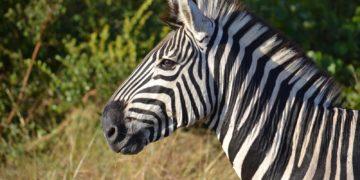 e4d42b29942a290e4bbff1d6b0e8586f 360x180 - 26 интересных фактов о зебрах