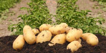 kolette 360x180 - 15 интересных фактов о картофеле