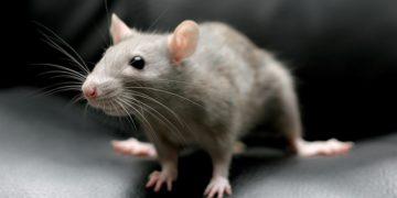 krysa cheshetsya logo 360x180 - 28 интересных фактов о крысах