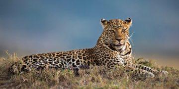 leopard dikaya koshka krasava 360x180 - 20 интересных фактов о леопардах
