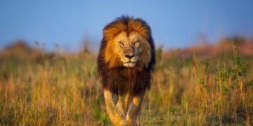 lev afrika keniya progulka 360x180 - 20 интересных фактов о львах