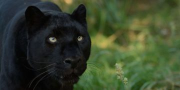 look.com .ua 81729 360x180 - 14 интересных фактов о черной пантере