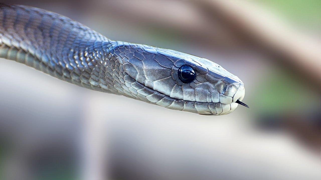 картинки змей черная мамба это