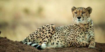 s1200 10 360x180 - 25 интересных фактов о гепардах