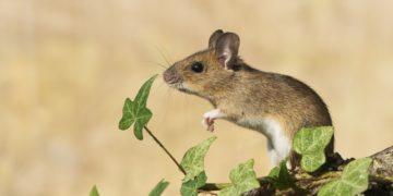 s1200 18 360x180 - 12 интересных фактов о мышах