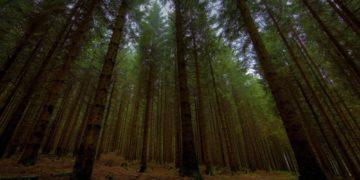 s1200 23 360x180 - 10 интересных фактов о хвойных лесах