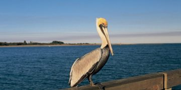 s1200 6 2 360x180 - 24 интересных факта о пеликанах
