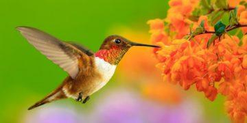 s1200 9 1 360x180 - 15 интересных фактов о колибри