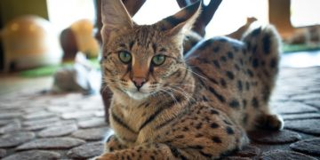 samye dorogie koshki v mire 12 360x180 - 25 интересных фактов о больших кошках