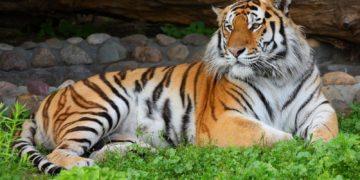 tamur z0 5921 360x180 - 16 интересных фактов об амурском тигре