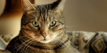 1f0f845535ae454 360x180 - 19 интересных фактов о домашних кошках