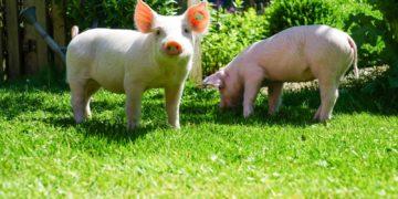 Domestic pig Two Grass 493300 360x180 - 23 интересных факта о свиньях