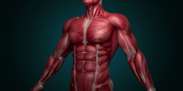 muscular system upper body animation with alpha complete 3d animation of the muscles of the upper human male body camera rotation showing all the muscles in slow motion alpha included in the second se 360x180 - 18 интересных фактов о мышцах