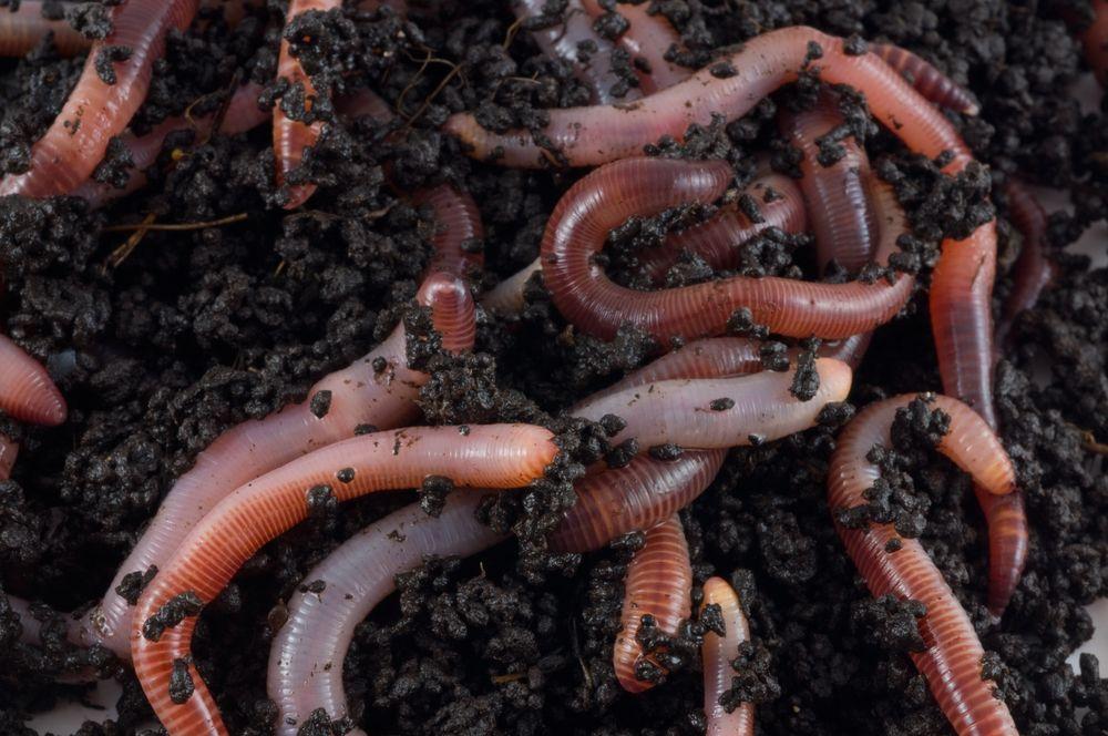 2e220107 1a14 4cfc 946c d3639f8796c5 regenwormen broeikasgasemissies koolstofdioxide co2 lachgas 1 - 17 интересных фактов о кольчатых червях