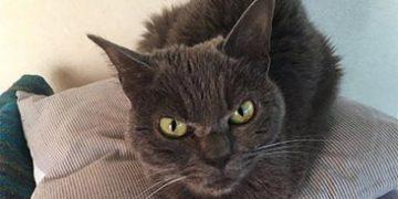angry cat shamo h 4 360x180 - Самая сердитая кошка в мире