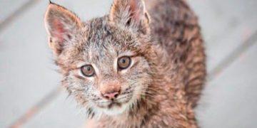 came brood lynx h 6 e1517172667871 360x180 - К жителю Аляски «пришел в гости» целый выводок рысей