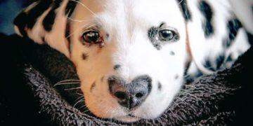 dalmatin heart nose 16 360x180 - Уайли – красивый далматинец, с сердечком на носу