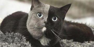 """kitten two faces h 5 360x180 - Котенок, рожденный с """"двумя лицами"""", теперь самая красивая кошка"""