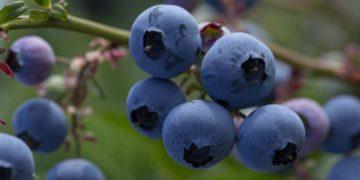 loes heerink blueberries 11 360x180 - Жизненный цикл черники в фотографиях