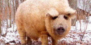 mangalitsa h 1 e1517173048271 360x180 - Свиньи, которые выглядят как овцы и ведут себя как собаки
