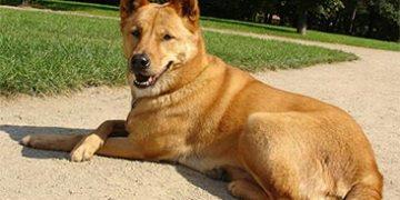 rare dog breeds h 12 360x180 - ТОП-10 самых редких пород собак в мире