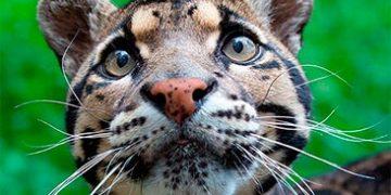 wild cats h 3 360x180 - Дикие кошки, о которых вы могли не знать