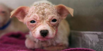 2 23 700x366 360x180 - На эту собачку было сложно взглянуть без слёз. Но любовь и забота превратили её в настоящую милашку