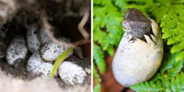 5 7 700x366 360x180 - Семья из Австралии нашла в саду яйца восточной водяной ящерицы и помогла малышам появиться на свет