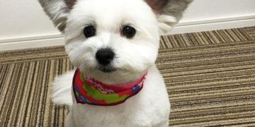 apvpvyapvy 700x366 360x180 - Этот милый пес мог бы быть вполне обычным, если бы не его уши. А они ему явно великоваты