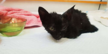 apyavpyv 700x366 360x180 - Хозяева нашли эту кошечку по объявлению и целый год боролись за её жизнь. Выросла настоящая красотка