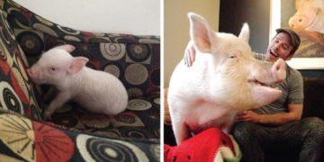 cfvuyaaykvenglrshdol 700x366 360x180 - Канадцы думали, что купили мини-свинью, которая выросла совсем не мини. Но хозяев это не смутило