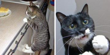 kot 2 700x366 360x180 - 15 невероятно целеустремленных котов, которые готовы на всё во имя еды