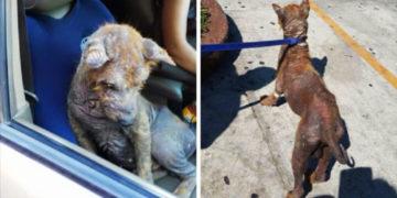 parpavprr 700x366 360x180 - Женщина нашла под своей машиной напуганного лысого пса и решила спасти бедное животное. Спустя два месяца он превратился в шикарного пушистого красавца