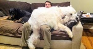 preview 5823715 300x158 97 1560943471 - 20+ человек, которые заводили собаку, а получили комнатного медведя