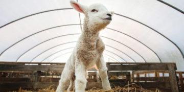 swns giant lamb 01 1 700x366 360x180 - Этот ягнёнок из Великобритании поражает своими размерами с самого рождения. И его фотографии рядом с собственными братьями могут ввести в ступор